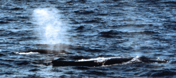 Whale watching is a popular activity in eastern Canada.